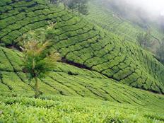 Munnar tea plantations hill