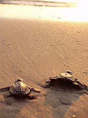 Morjim Beach, olove ridly turtles