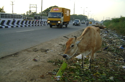 Roadside cow, india pollution