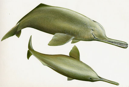 Gnages Dolphin Picture
