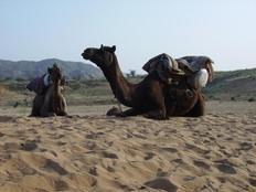 Pushkar camels, two camel in Pushkar